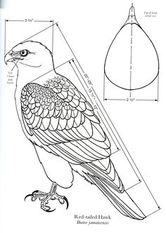 Diagram of a Red-Tailed Hawk [Source: Birds of Prey by Floyd Scholz, 1993 p 175]