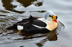 The king eider is circumpolar and breeds all along the Arctic Circle. Duck Pictures, Game Birds, Arctic Circle, New Hampshire, Ducks, Wildlife, King, Paintings, American