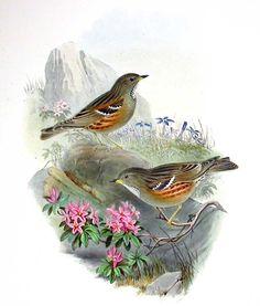 Accenteur alpin - Prunella collaris