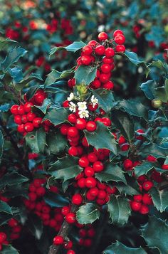 Blue Princess Holly - between Parottia and cherry) Shrubs - Plants - Garden Center / ATTRACTS: Red Headed Woodpeckers. Planting Shrubs, Landscaping Plants, Garden Plants, Planting Flowers, Trees And Shrubs, Trees To Plant, Holly Shrub, Holly Plant, Holly Bush