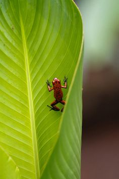 My Favorite Amphibian The Strawberry Poison Dart Frog This Tiny Mein Lieblings Amphibien Erdbeergift Pfeil Frosch Dieser Kleine - Bilmece Reptiles And Amphibians, Mammals, Geckos, Costa Rica, Strawberry Poison Dart Frog, Amazing Frog, Earth Song, Poison Dart Frogs, Paludarium