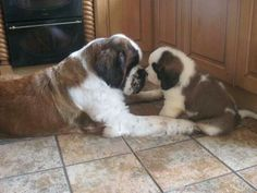 someone's getting a talking too! Little Puppies, Cute Puppies, Cute Dogs, Dogs And Puppies, Doggies, Animals And Pets, Baby Animals, Cute Animals, St Bernard Puppy
