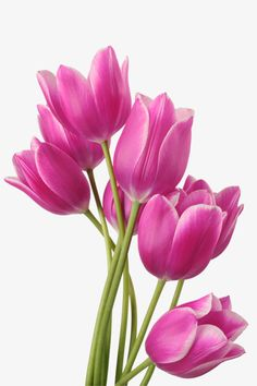 PNG – Photoshop – Flowers – Eleonorik Norik – Join in the world of pin Purple Tulips, Tulips Flowers, Flowers Nature, Pretty Flowers, Planting Flowers, Rose Flower Png, Arte Floral, Flower Photos, Landscape Paintings