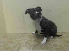 TO BE DESTROYED - 11/10/14 Brooklyn Center   My name is SHADOW. My Animal ID # is A1019611. I am a male white and black pit bull mix. The shelter thinks I am about 4 YEARS old.  I came in the shelter as a OWNER SUR on 11/03/2014 from NY 11379, owner surrender reason stated was MOVE2PRIVA.