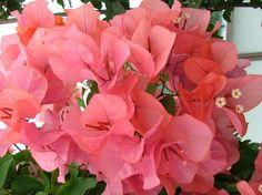 Bougainvillea Miss Manila & # . Texas Landscaping, Tropical Landscaping, Tropical Flowers, Manila, Bougainvillea Tree, Weeping Trees, Butterfly Weed, Beautiful Flowers Wallpapers, Side Garden