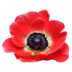 anemone flower: Red flower spring blossom seasonal illustration. Anemone isolated on white Illustration