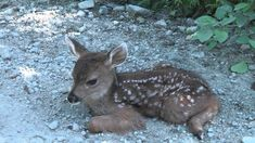 Logger meets the cutest baby deer. Cute Animals With Funny Captions, Cute Baby Animals, Funny Animals, Rock Animals, Wild Animals, Deer Calls, Small Deer, Deer Photos, Baby Pigs