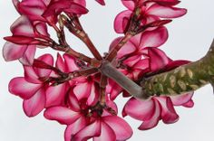 Plumeria Art | Hawaii Pictures of the Day
