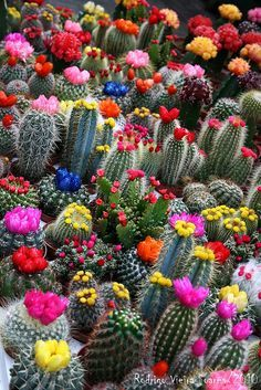 Colorful blooming cactus - by Cris Figueired♥
