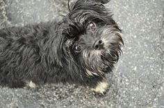 Otis is an adoptable Yorkshire Terrier Yorkie Dog in Grandview, MO. Meet Otis! This 10 month old Yorkie Poo is an active and playful pup! Loves kids and other dogs and is just the perfect size! With r...