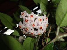 Consigli utili per prendersi cura dell'HOYA o fiore di cera, una bellissima pianta rampicante che fa fiori delicati e profumati.