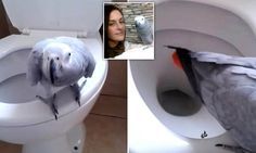 Talented parrot has been trained to go to the TOILET