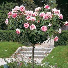 Rosier Grand Siècle® Le rosier Tige - Delbard