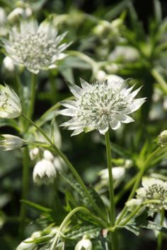astrantia major snowstar  60-70 cm