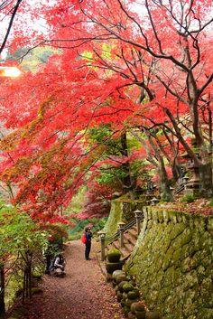 大山寺&大山阿夫利神社の紅葉 Autumn leaves in Oyamadera Temple and Afuri-jinja…