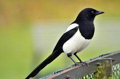 Magpies - A cultural question | Threadless