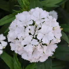 Sweet William 'Dash White' (Dianthus barbatus)