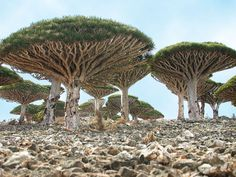 Socotra Island, Yemen - over 300 species of plant that are found here are found no where else in the world. Amazing