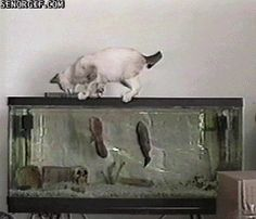 "Share this ""Curious Cat Gets Attacked by Fish"" animated gif image with everyone. Gif4Share is best source of Funny GIFs, Cats GIFs, Dog GIFs to Share on social networks and chat."