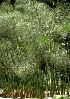 papyrus! Swimming pool plants