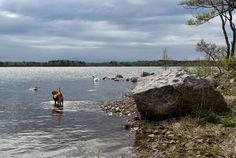 Basset fauve de bretagne by the sea with swans