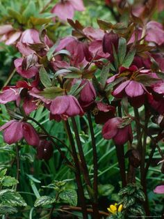 helleborus | Garden Coach Photos