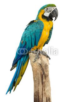 Beautyful macaw bird isolated on white background, clipping path