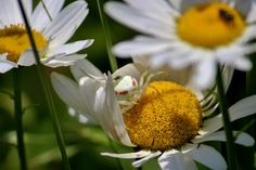 Crab Spider on Daisy Crab Spider, Spiders, Daisy, Plants, Spider, Margarita Flower, Daisies, Plant, Planets