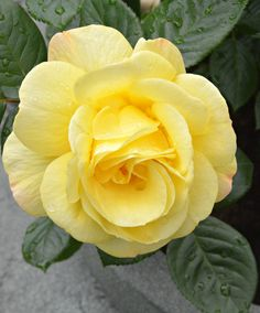 Pretty Roses, Beautiful Roses, Flowers For Algernon, Rosa Rose, Coming Up Roses, Rose Pictures, Good Morning Flowers, Love Flowers, Unusual Flowers