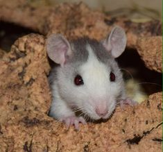 Rats are by far one of the most misunderstood pets out there, but those who own them know just how special they are. The bond an owner can have with their rats is unbreakable, with their friendly a…