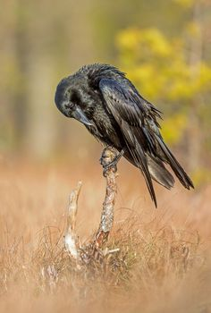 terrenonussbukorrek: (Raven by Lauri Tammik / 500px)