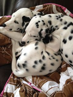 Collection of Dalmatian Puppies cute, Dalmatian pics, If You are Dalmatian Lover, Let follow @cutepestsz to see more pics about Dalmatian Puppies