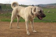 the Kangal Dog is an ancient flock-guarding breed, thought to be related to the early mastiff-type dogs. large landholders and chieftains, take great pride in the dogs' ability to guard their flocks of sheep and goats from such traditional predators as the wolf, bear and jackal. The relative isolation of the Sivas-Kangal region has kept the Kangal Dog free of cross-breeding and has resulted in a natural breed of remarkable uniformity in appearance, disposition and behavior. Caucasian Shepherd Dog, Anatolian Shepherd, Toxic Foods For Dogs, Kangal Dog, Huge Dogs, Schaefer, Types Of Dogs, Mans Best Friend, Dog Pictures