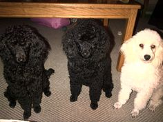 Waiting for a snack - from left to right - Pollyanna, Sophie, Vanilla Rose.