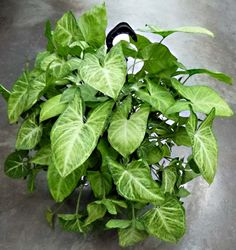 Syngonium cultivo y cuïra Indoor Tropical Plants, Leafy Plants, Foliage Plants, Outdoor Plants, Green Plants, Arrowhead Plant, Plants Are Friends, Plant Pictures, Bonsai Garden