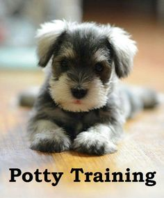 Miniature Schnauzer Puppies. How To Potty Train A Miniature Schnauzer Puppy. Miniature Schnauzer House Training Tips. Housebreaking Miniature Schnauzer Puppies Fast & Easy. Share this Pin with anyone needing to potty train a Miniature Schnauzer Puppy. Click on this link to watch our FREE world-famous video at ModernPuppies.com