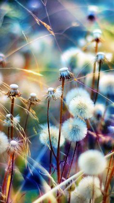 not a big dandelion fan but what a great photo