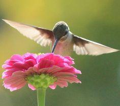 Pink Hummingbird   Items similar to Hummingbird on Pink Zinnia - Garden Photograph Print ...