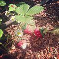 Mercredi c'est fraisie, fraisie ...