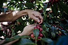 Coffee cherries straight from the plant Throughout The World, Growing Plants, Cherries, Farmer, Sustainability, Coffee, Maraschino Cherries, Kaffee, Cherry Fruit