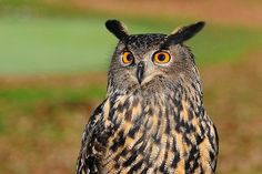 bird, bird of prey, european eagle owl, owl, sharp look wallpaper Names Of Birds, Owl Facts, Owl Pellets, Eurasian Eagle Owl, Woodland Park Zoo, Animal Symbolism, Owl Photos, Owl Bird, Vintage Birds