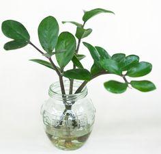 Eternity plant stem cuttings in water