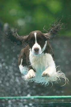 Wil-Orion English Springer Spaniels | Gallery