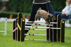 Il existe un concours de sauts de lapin en Suède appelé Kaninhoppning