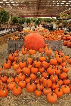 At the Pumpkin Farm Happy Halloween 2017 Fall Pumpkins, Halloween Pumpkins, Fall Halloween, Grow Pumpkins, Halloween Countdown, Happy Halloween, Harvest Moon, Fall Harvest, Golden Harvest