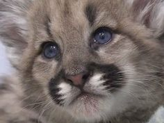 What is cuter than a cougar cub? How about three mountain lion cubs at play!