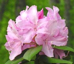 Rhododendron 'Mrs E.C. Stirling'