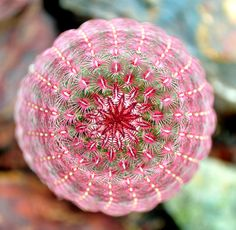 Laced in Pink by Maureen Isree on Capture My Arizona // Cactus flower taken from an above shot Bold, Beautiful and a fashion statement for any Garden