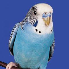 Amazing Animal And Birds: Budgie (Parakeet)