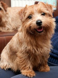 Oh how I want a Norfolk terrier!!